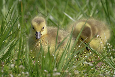 Photograph - Cuteness Overload #1 by Susan Rissi Tregoning