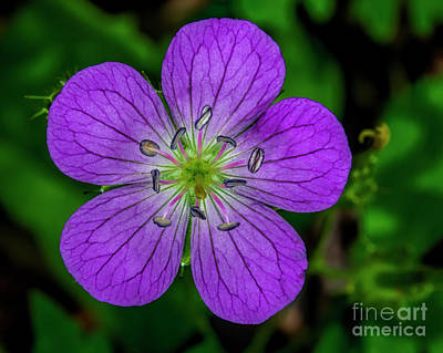 Photograph - Cutleaf Cranesbill by Barbara Bowen