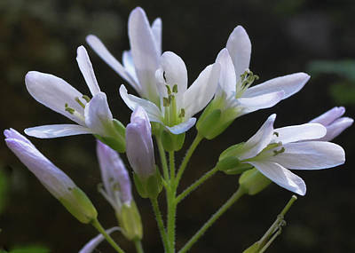 Photograph - Cutleaf Toothwort Dreams by Tana Reiff