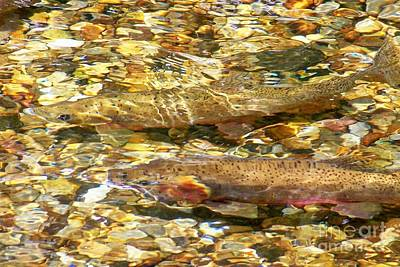 Cutthroat Trout In Clear Mountain Stream Art Print by Greg Hammond
