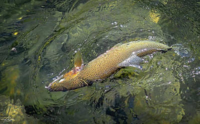 Photograph - Cutthroat Trout by Phil Rispin