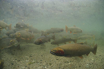 Cutthroat Trout Swim Art Print by Michael S. Quinton