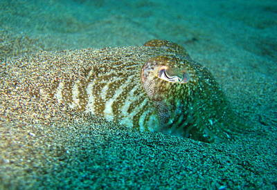 Photograph - Cuttle Fish by Jamie Price