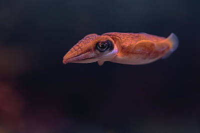 Photograph - Cuttlefish by Susan Rissi Tregoning