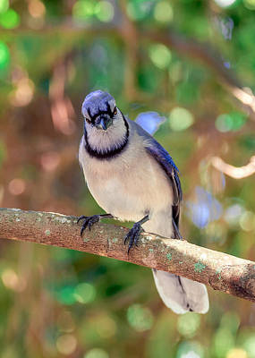 Bluejay Digital Art - Cyanocitta Cristata by Rob Sellers