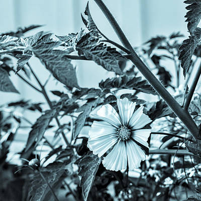 Photograph - Cyanotype Cosmos II by Marianne Campolongo