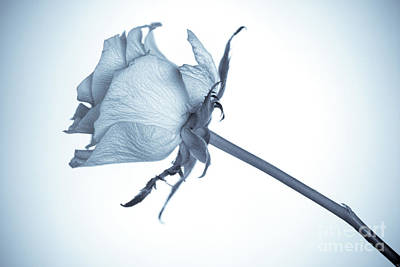 Single Rose Stem Photograph - Cyanotype Rose by John Edwards