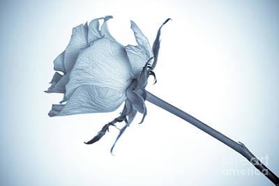 Cyanotype Rose Art Print by John Edwards