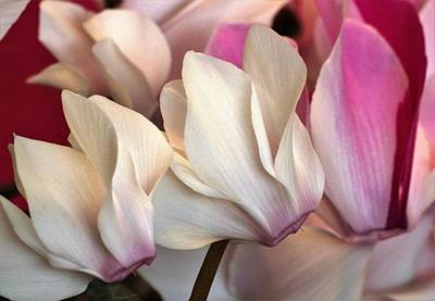 Photograph - Cyclamen Blooms by Sheila Brown