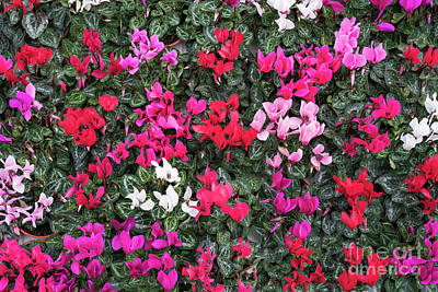 Photograph - Cyclamen Coum Flowers by Tim Gainey