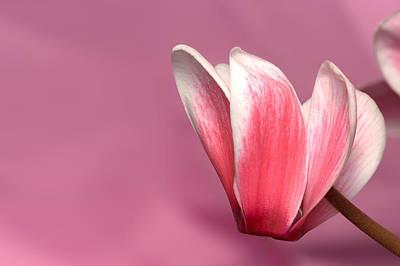 Photograph - Cyclamen Flower by Bernard Lynch