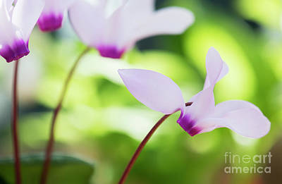 Dappled Light Photograph - Cyclamen Persicum by Tim Gainey