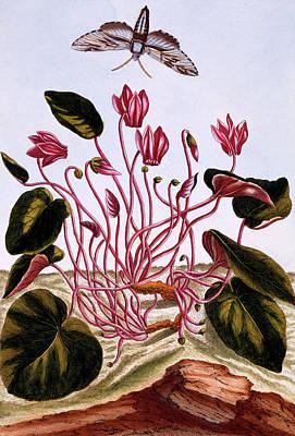 Flutter Painting - Cyclamen by Pierre-Joseph Buchoz