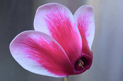 Photograph - Cyclamen Portrait. by Terence Davis