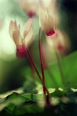 Photograph - Cyclamens by Dubi Roman