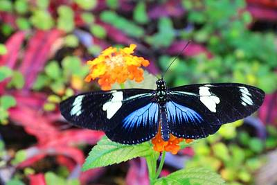 Photograph - Cydno Longwing Butterfly by Kathryn Meyer