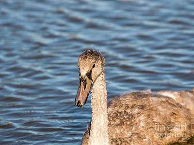 Photograph - Cygnet by Jim Orr