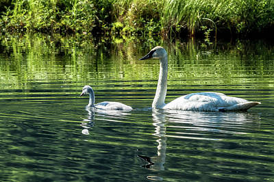 Photograph - Cygnet With Father by Belinda Greb