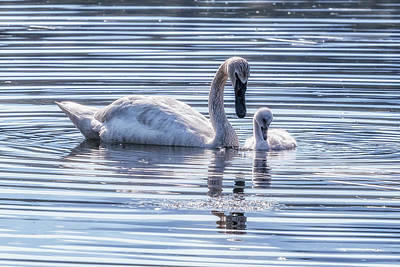 Photograph - Cygnet With Mother by Belinda Greb