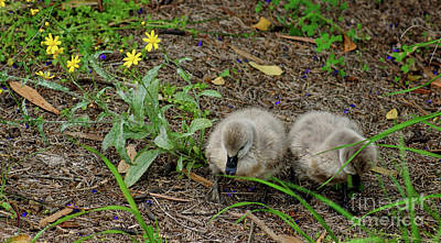 Photograph - Cygnets by Cassandra Buckley