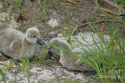 Photograph - Cygnets I by Cassandra Buckley