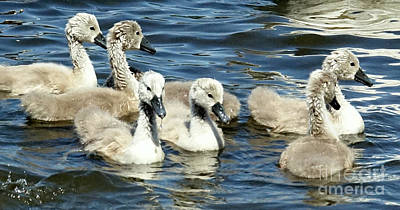 Photograph - Cygnets In Sync - Almost by Lori Pessin Lafargue