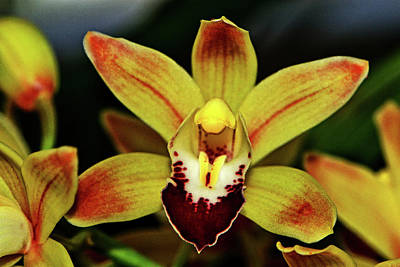 Photograph - Cymbidium - Ming Emperor Orchid 001 by George Bostian