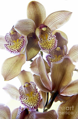Kyle Rothenborg Photograph - Cymbidium Orchid Flower by Kyle Rothenborg - Printscapes