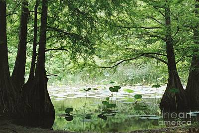 Photograph - Cypress And Lilies by Iris Greenwell
