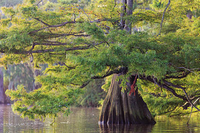 Photograph - Cypress Basking In Morning Light by Stefan Mazzola