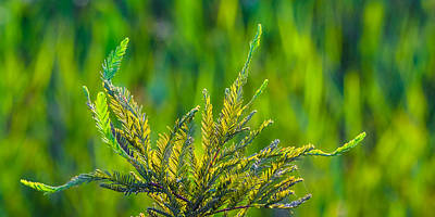Photograph - Cypress Branches In A Field Of Green by Ed Gleichman