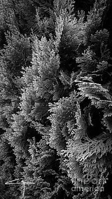 Cypress Branches No.1 Art Print
