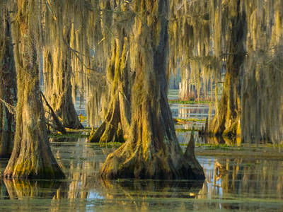 Cypress Canopy Uncovered Art Print
