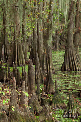 Photograph - Cypress In Caddo Lake by Iris Greenwell