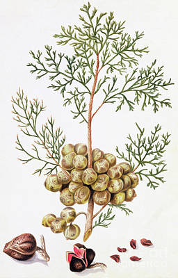Nut Painting - Cypress Leaf And Nuts by William Hooker