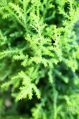 Photograph - Cypress Leaves Close Up by Cesar Padilla