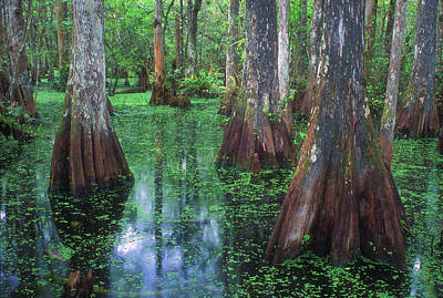 Photograph - Cypress Swamp  by John Burk
