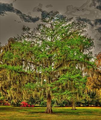 Photograph - Cypress Tree by Ronald Olivier