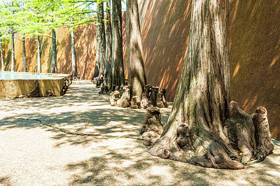 Photograph - Cypress Trees At The Forth Worth Water Gardens by Ray Sheley