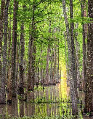 Photograph - Cypress Tunnel by Andy Crawford