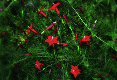 Photograph - Cypress Vine 006 by George Bostian
