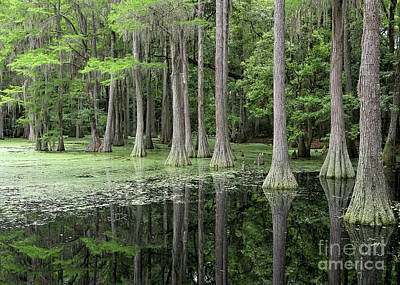 Cypresses In Tallahassee Art Print