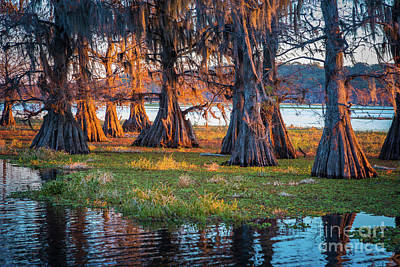 Photograph - Cyrpress Trunks At Dawn by Inge Johnsson