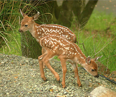 Photograph - D-a0013 Mule Deer Fawns by Ed Cooper Photography