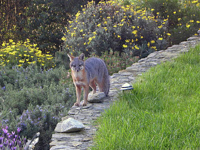 Photograph - D-a0037 Gray Fox On Our Property by Ed Cooper Photography