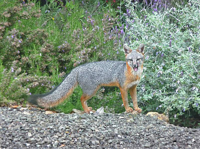 Photograph - D-a0041-dc Gray Fox Barking At Us On Sonoma Mountain by Ed Cooper Photography