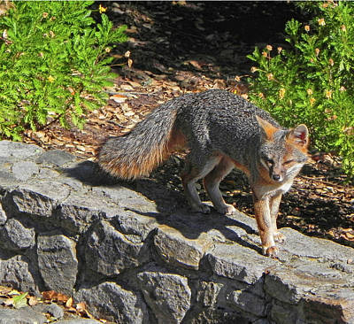 Photograph - D-a0063 Gray Fox On Our Mountain by Ed Cooper Photography