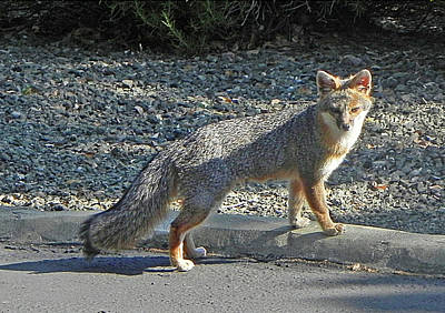 Photograph - D-a0064 Gray Fox On Our Mountain by Ed Cooper Photography
