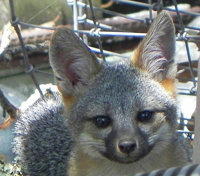 Photograph - D-a0068 Gray Fox Pup by Ed Cooper Photography