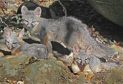 Photograph - D-a0072 Fox Family On Our Mountain by Ed Cooper Photography